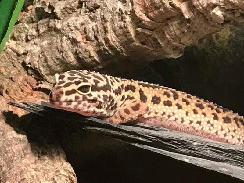 """Ma """"geckotte"""" léopard  Image154"""