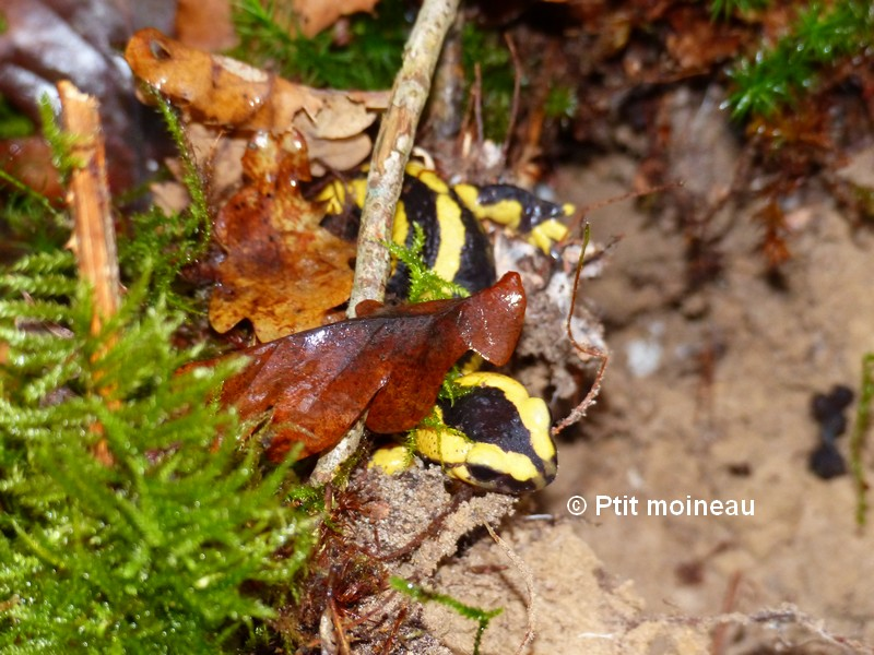 [16 - Charente] Salamandres tachetées - Salamandra salamandra Copie_15