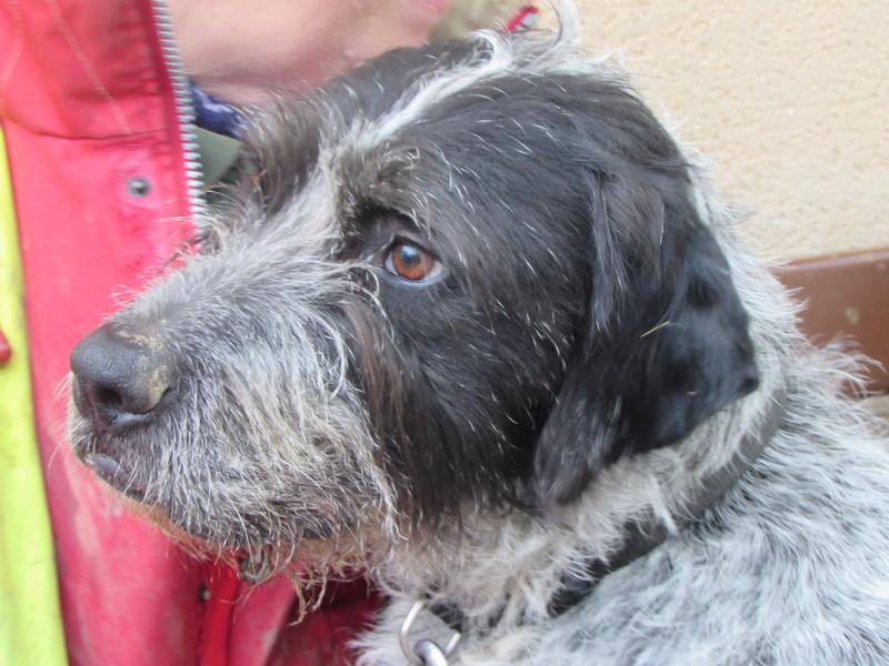 LILI - x griffon 8 ans blanc moucheté/noir- Refuge de la Picoterie à Crogis (02) 01216