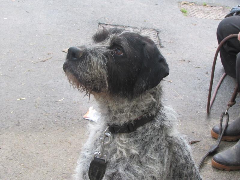 LILI - x griffon 6 ans blanc moucheté/noir- Refuge de la Picoterie à Crogis (02) 01315