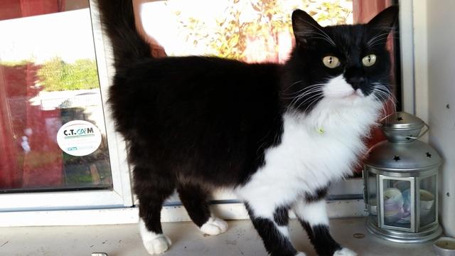 Trouvé chat noir et blanc poils longs à Colomiers 20161215