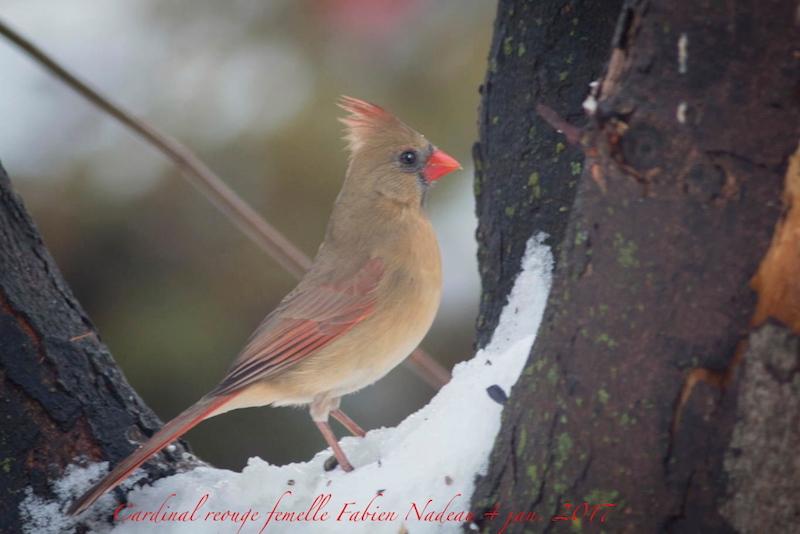 Cardinal rouge femelle _mg_7912