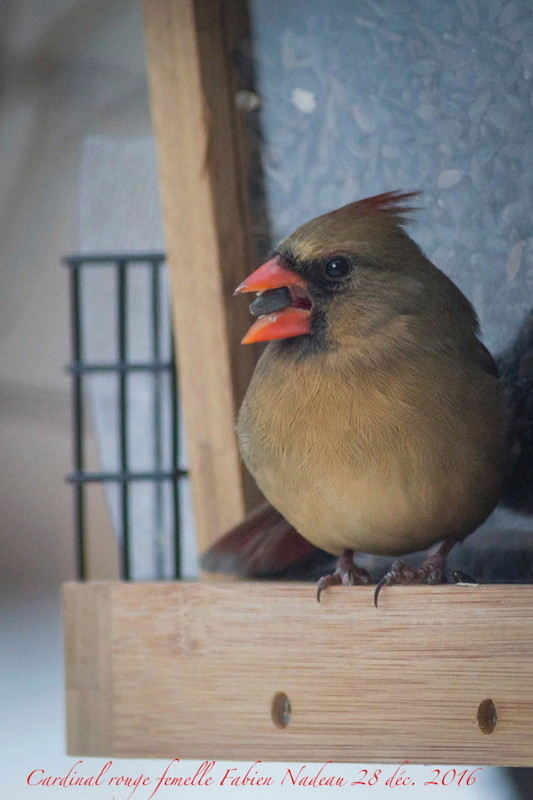 Cardinal rouge femelle Img_7711