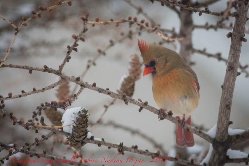 Cardinal rouge femelle Img_8511