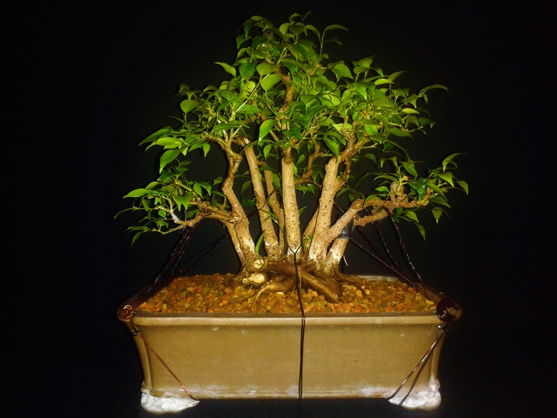 From Trash Room Benjamina to Banyan Bonsai. :) 20170111
