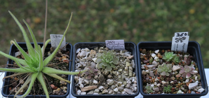 Pinguicula méxicaines Ping_110