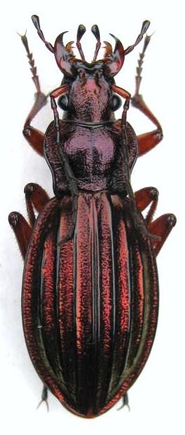 Chrysocarabus auronitens FABRICIUS 1792. (ignifer et aureopurpureus 18_f_i10