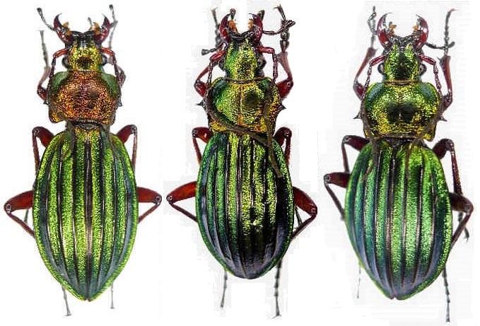 Chrysocarabus auronitens FABRICIUS 1792. (ignifer et aureopurpureus Aur_sp10