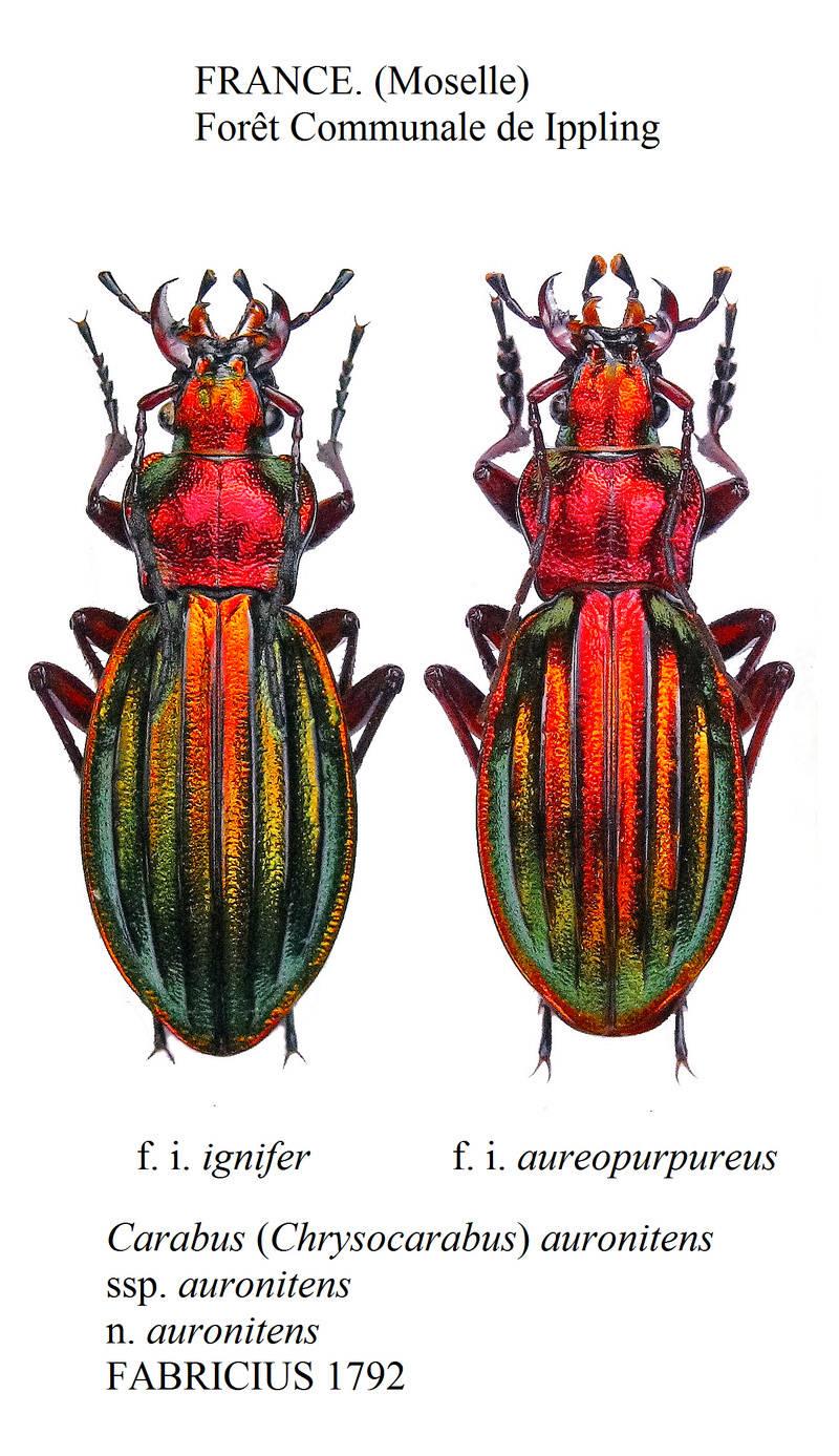 Chrysocarabus auronitens FABRICIUS 1792. (ignifer et aureopurpureus Sans_t10