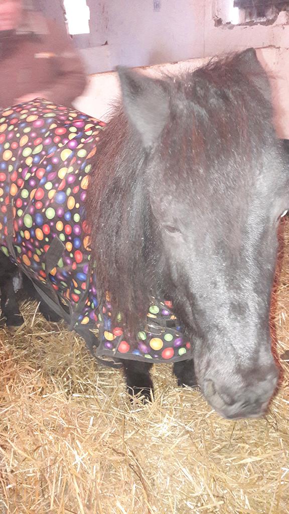 NOIROT - ONC poney né en 1997 - adopté en juillet 2016 par Leila 20161243
