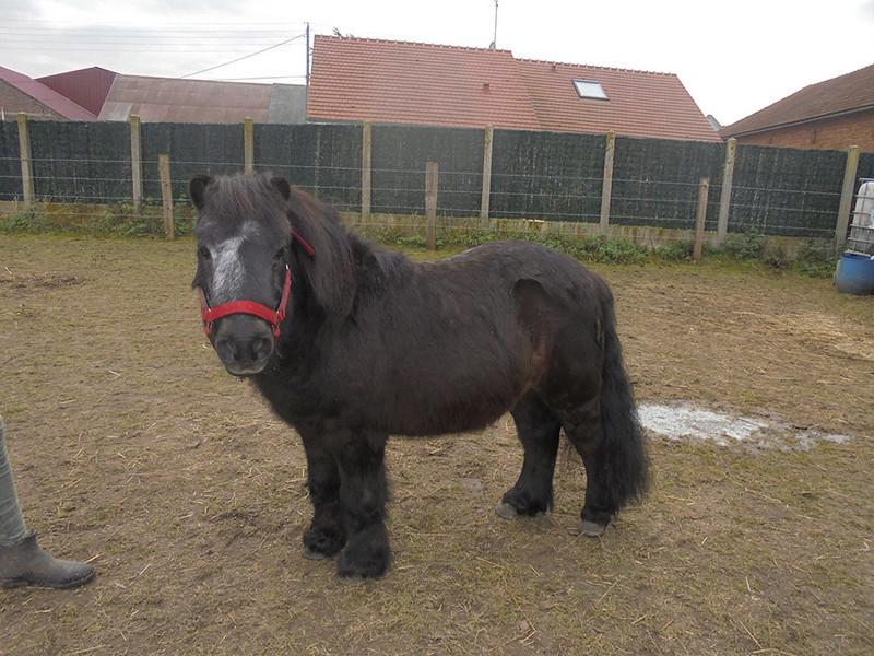 KANSAS - ONC poney typé Shetland né en 1998 - adopté en octobre 2014 par Amandine Kansas14