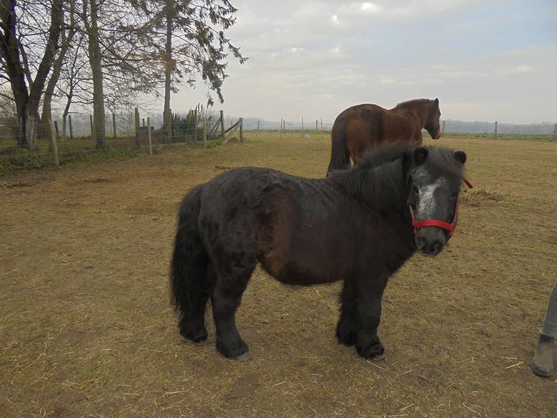 KANSAS - ONC poney typé Shetland né en 1998 - adopté en octobre 2014 par Amandine Kansas15