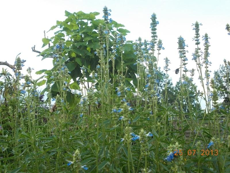 Salvia uliginosa Dscn4119