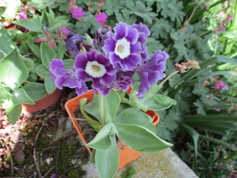 PRIMULA AURICULA  - Page 3 Img_0214