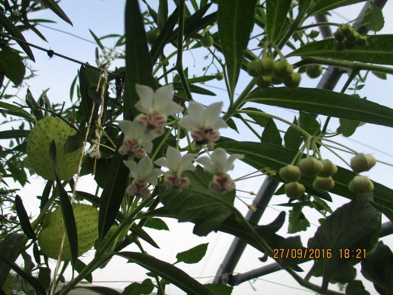asclepia physocarpa ou gomphocarpus physocarpus Img_1810