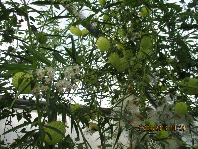asclepia physocarpa ou gomphocarpus physocarpus Img_1811