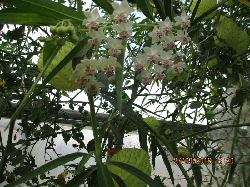 asclepia physocarpa ou gomphocarpus physocarpus - Page 2 Img_1812
