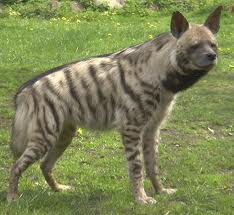 Too good to scrap Hyena11