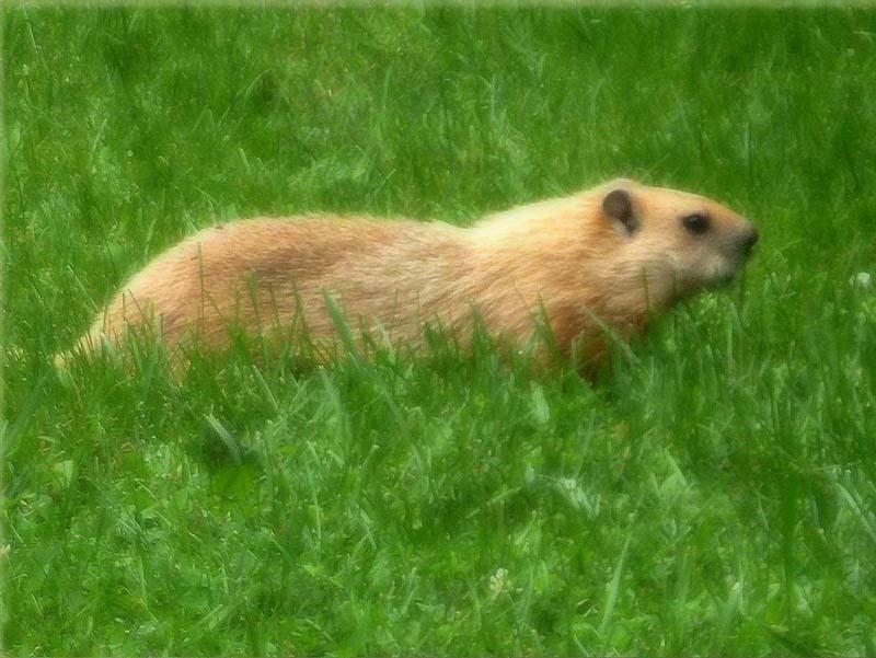 marmotte leucique 50310