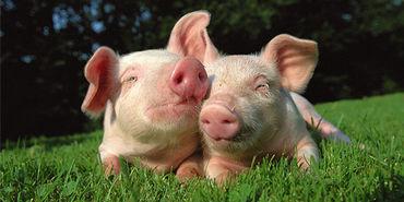 Je ne serai jamais vegan - Page 9 Cochon10