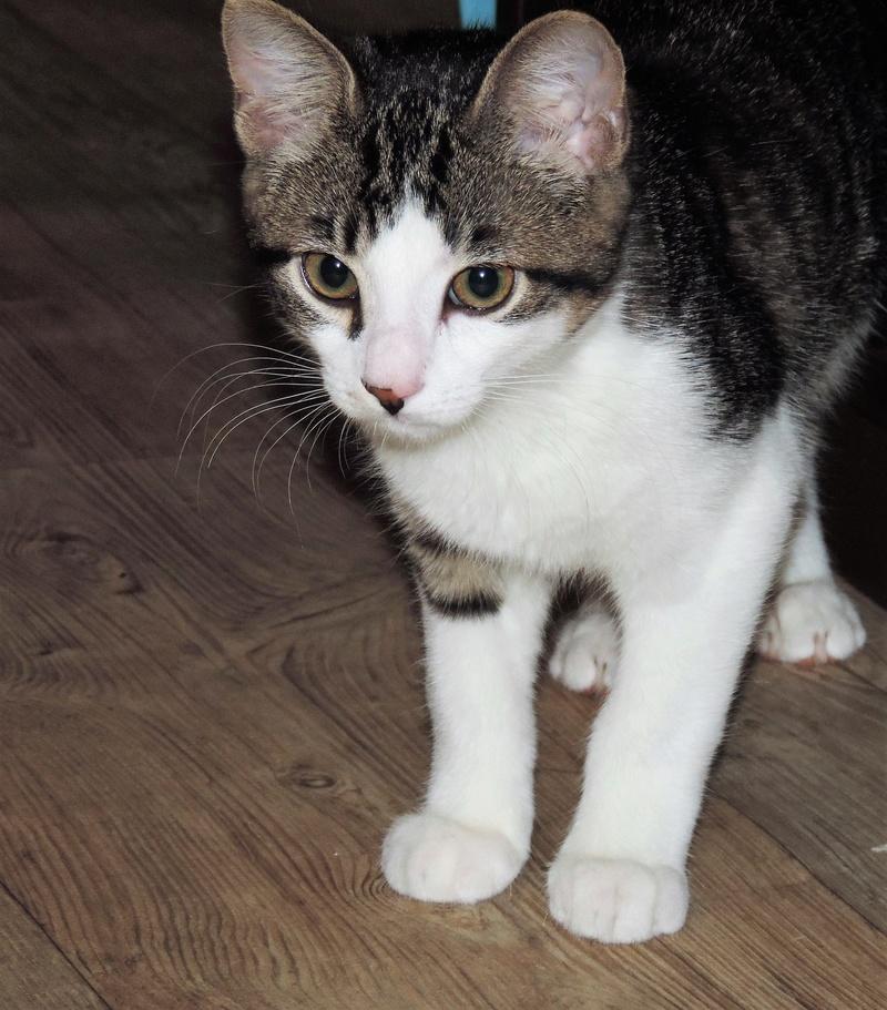 magnum - Magnum chaton tigré et blanc né en septembre 2016 00112