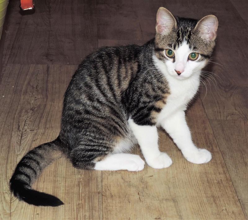 magnum - Magnum chaton tigré et blanc né en septembre 2016 00211