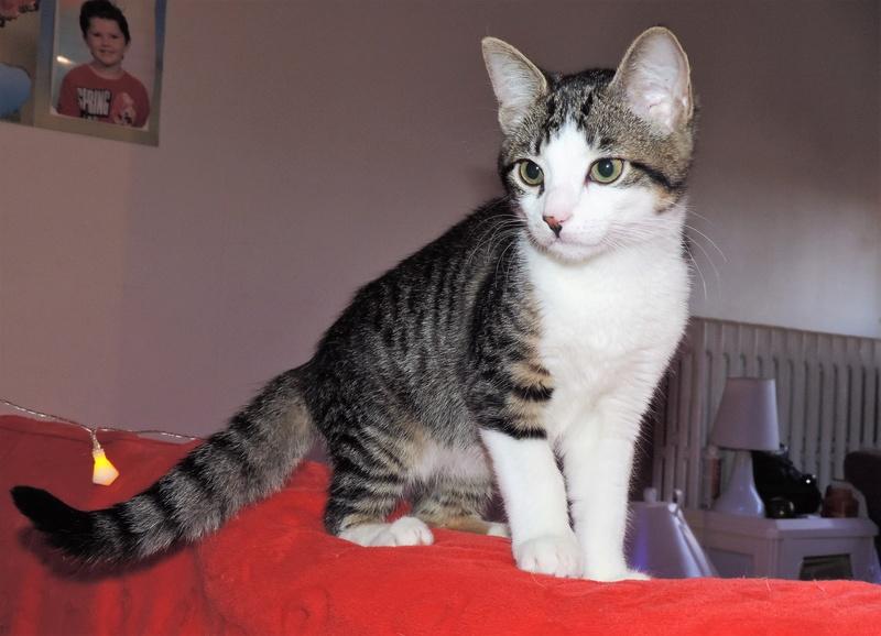 magnum - Magnum chaton tigré et blanc né en septembre 2016 00811