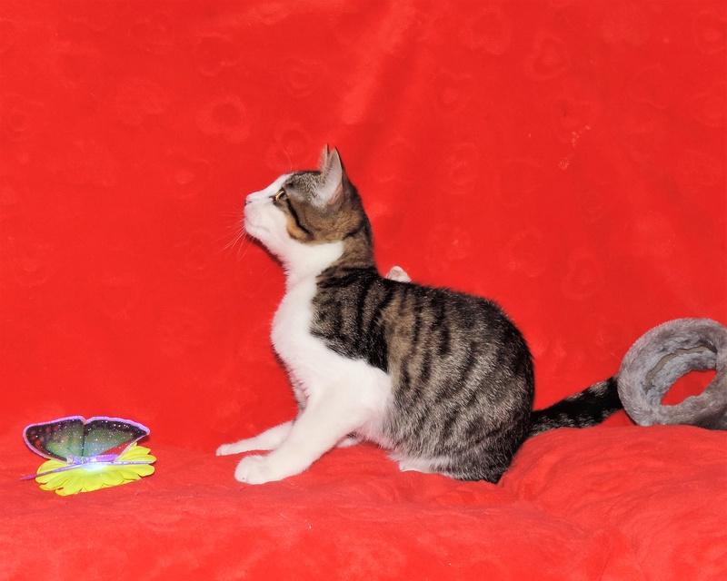 magnum - Magnum chaton tigré et blanc né en septembre 2016 01511