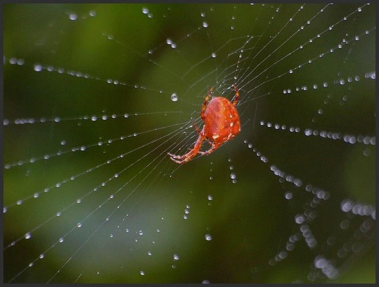 Araneus diadematus? Imgp2410