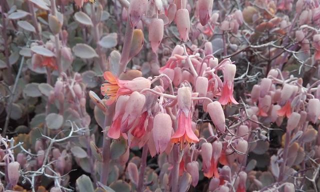 Bryophyllum fedtschenkoi (= Kalanchoe fedtschenkoi) - Page 2 20170211