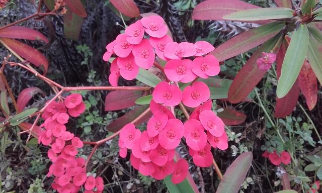 Euphorbia millii - Page 2 20170215