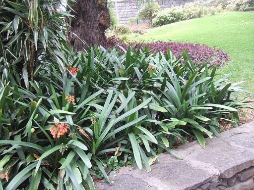 Clivia nobilis Dscf0610