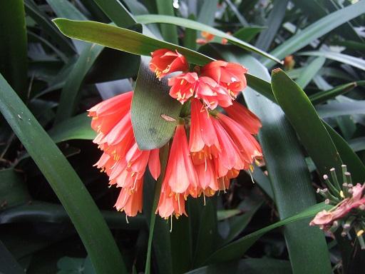 Clivia nobilis Dscf0611