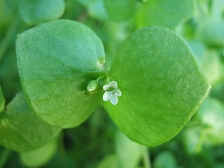 Claytonia perfoliata - claytonie perfoliée Dscf2712