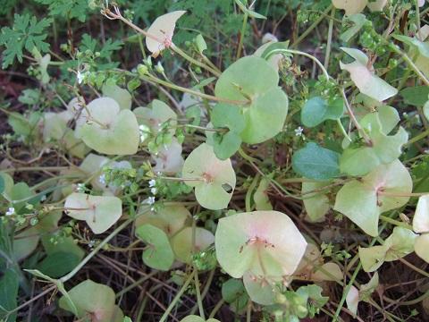 Claytonia perfoliata - claytonie perfoliée Dscf4611