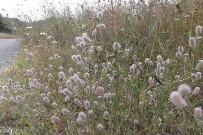 trifolium - Trifolium arvense - trèfle des champs Dscf4812