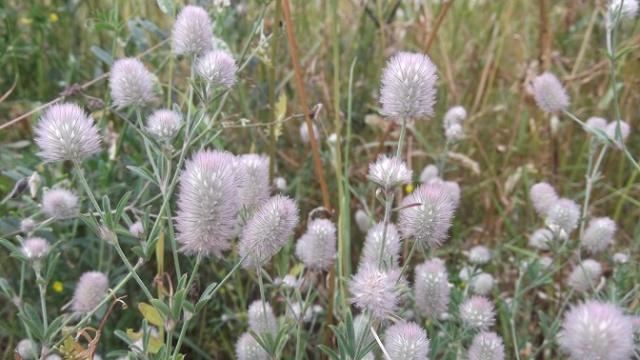 Trifolium arvense - trèfle des champs Dscf4813