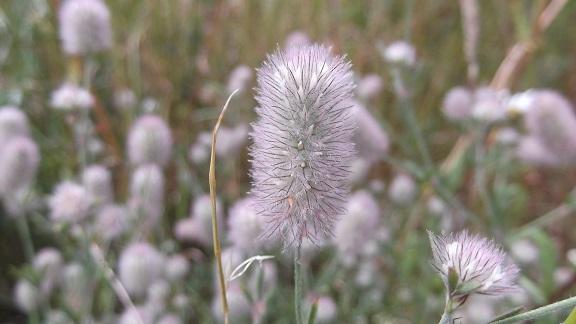 trifolium - Trifolium arvense - trèfle des champs Dscf4814