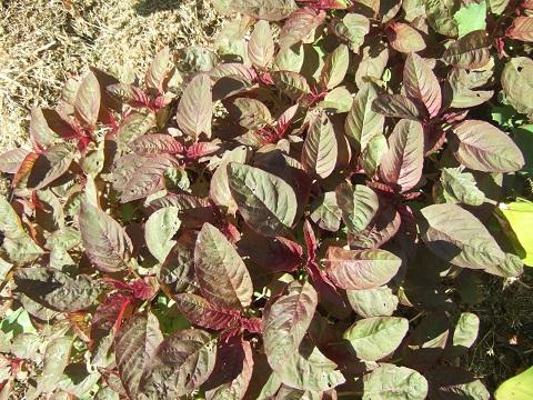 Amaranthus - les amarantes horticoles Dscf5610