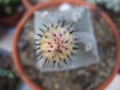 Astrophytum myriostigma Dscf5623