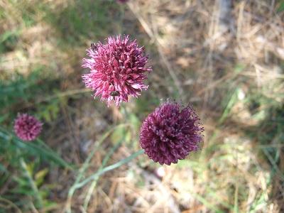 Allium sphaerocephalon - ail à tête ronde Dscf5633
