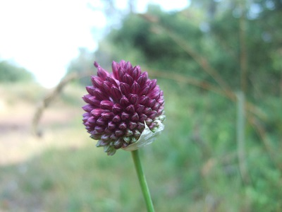 Allium sphaerocephalon - ail à tête ronde Dscf5634