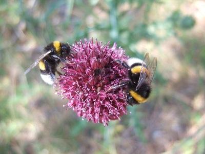 Allium sphaerocephalon - ail à tête ronde Dscf5635