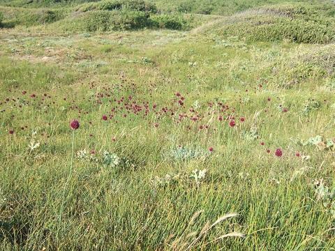 Allium sphaerocephalon - ail à tête ronde Dscf5713
