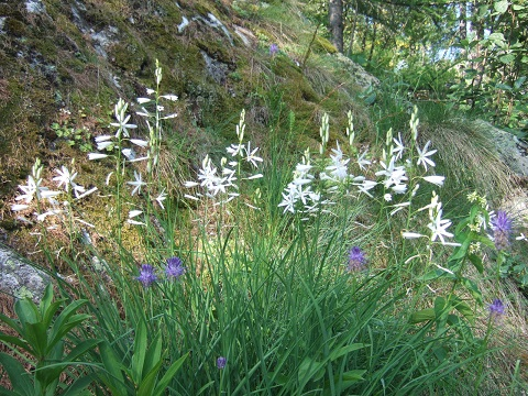 Anthericum liliago - phalangère à fleurs de lis Dscf6011