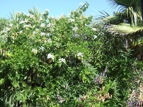 Bauhinia grandiflora Dscf6410