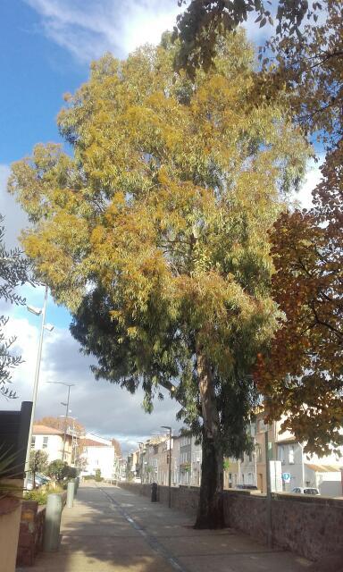 Eucalyptus calmadulensis Rps20101
