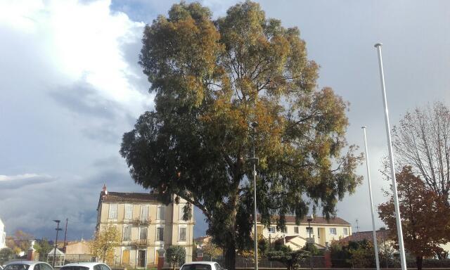 Eucalyptus calmadulensis Rps20102