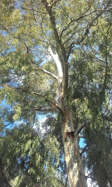 Eucalyptus calmadulensis Rps20103