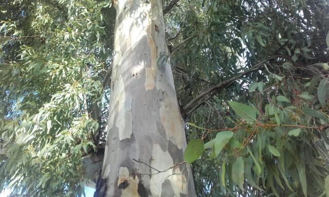 Eucalyptus calmadulensis Rps20104